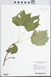 Acer spicatum Lam.