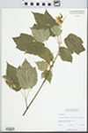 Acer spicatum Lam. by W. J. Cody