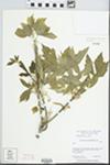 Acer negundo var. californicum (Torr. & A.Gray) Sarg.