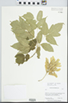Acer negundo L. by Barbara Ertter and Conatance Lincoln