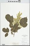 Acer negundo subsp. latifolium (Pax) Schwerin