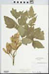 Acer negundo L. by Fred A. Barkley