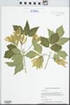 Acer negundo L. by Lelsie J. Mehrhoff