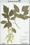 Acer negundo L. by Kerry Barringer