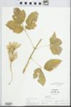 Acer negundo L. by W. McClain