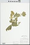 Acer negundo L. by John E. Ebinger