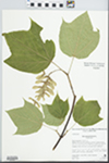 Acer pensylvanicum L. by Evelyn Mears, Joyce Beck, and Laurie Glaysher