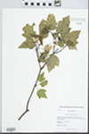 Acer rubrum Wats. by Kerry Barringer