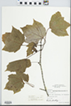 Acer rubrum Wats. by Fred A. Barkley and Eugene Courtney