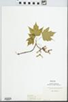 Acer rubrum Wats. by Elisabet Ore