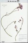 Acer rubrum var. rubrum L. by Kerry Barringer