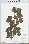Acer rubrum Wats. by C. Leland Rodgers, N. E. Mullens, A. Behrman, and M. Hudson