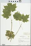 Acer saccharum Marshall by Hampton M. Parker