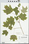 Acer saccharum Marshall by Wayne M. Pichcon and Hampton M. Parker