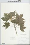 Acer saccharum Marshall by Leland Jacob Gier