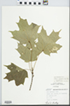 Acer saccharum Marshall by Eugene C. Courtney and Fred A. Barkley