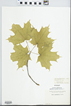 Acer saccharum Marshall by Elisabet Ore