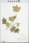 Acer saccharum subsp. floridanum (Chapm.) Desmarais