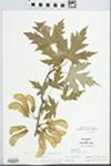 Acer saccharinum L. by William McClain