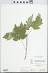 Acer saccharinum L. by W. McClain