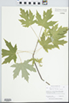 Acer saccharinum L. by Barbara Ertter and Conatance Lincoln