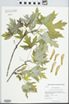 Acer saccharinum L. by Kerry Barringer