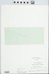 Anagallis minima (L.) Krause