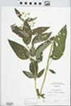 Lysimachia ciliata L. by R. W. Nyboer