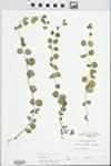 Lysimachia nummularia L. by R. W. Nyboer