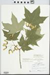 Acer saccharum Marshall by R. W. Nyboer