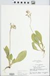 Dodecatheon meadia L. by John E. Ebinger