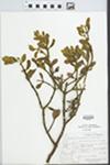 Phoradendron villosum Nutt. by Albert Steward and Celia B. Steward