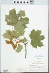 Acer platanoides L.