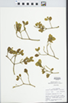 Phoradendron tomentosum Oliver by W. E. McClain