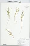 Claytonia virginica L. by John E. Ebinger