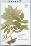 Fraxinus nigra Pott by Loy R. Phillippe and Jason J. Zylka