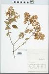Syringa x persica L. [afghanica × laciniata]
