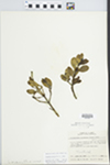 Phoradendron serotinum (Raf.) M.C. Johnston by Wm. M. Bailey and Julius R. Swayne
