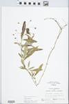Lysimachia lanceolata Walter by Randy L. Vogel