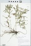 Lysimachia lanceolata Walter by Loy R. Phillippe