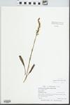 Spiranthes ochroleuca (Rydb.) Rydb.