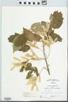 Acer negundo L. by John Gerard