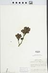 Phoradendron serotinum (Raf.) M.C. Johnston by Wm. M. Bailey and Julius R. Swayne
