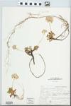 Spraguea umbellata Torr. by Albert Steward and Celia B. Steward