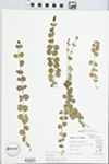 Lysimachia nummularia L. by Douglas Ladd