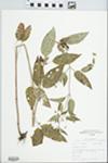Lysimachia ciliata L. by Douglas Haug