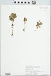 Trientalis europaea L. by Kimberly Elkin