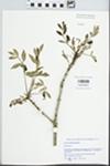 Fraxinus latifolia Benth. by Gordon C. Tucker