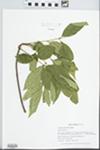 Fraxinus lanceolata Borkh. by Gordon C. Tucker