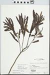 Comptonia peregrina (L.) J.M. Coult. by Hampton M. Parker
